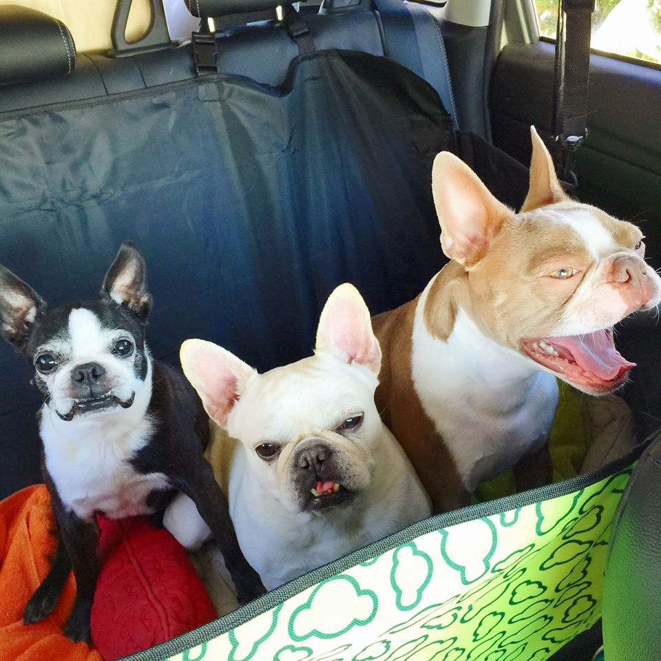 Angel, Ariel, and Emmett are SO PSYCHED! Obviously. tongue emoticon But really, car rides are their favorite thing in the whole wide world next to walks, so this trip was pretty epic for them.