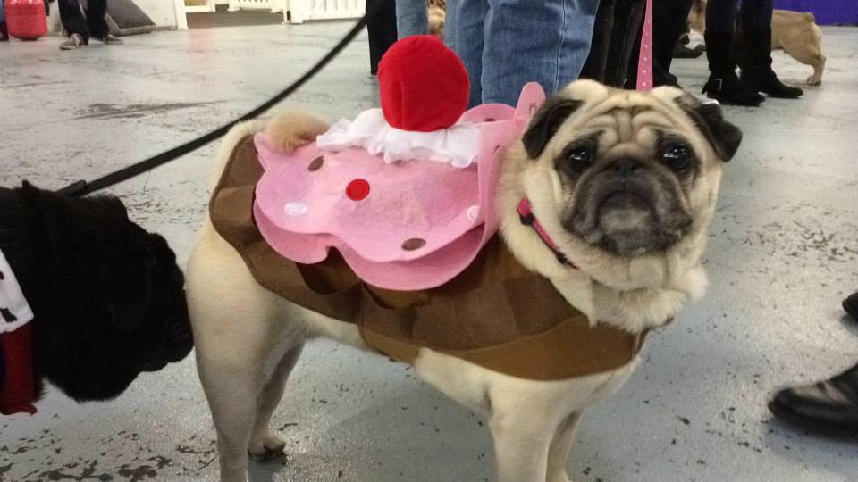 IMPORTANT: There is a pug dressed up as a cupcake. Repeat: There is a pug dressed up as a cupcake. I don't care what kind of diet you're on – Who wouldn't want a piece of this? Hi there! CHOMP!