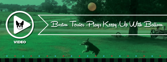You High-Flying Motherpupper! Boston Terrier Plays 'Keepy-Up' With Balloon