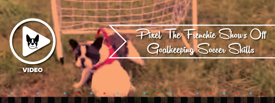 Pixel The Frenchie Shows Off Goalkeeping Soccer Skills